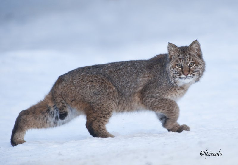 bobcat_in_the_snow_by_krankeloon-d45is93
