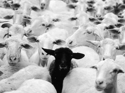 Lavender sheep audio